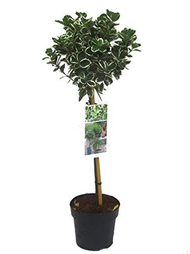 Stämmchen Euonymus Jap. 'Kathy' winterharte, immergrüne Kübelpflanze Höhe 85 cm - 19 cm Topf