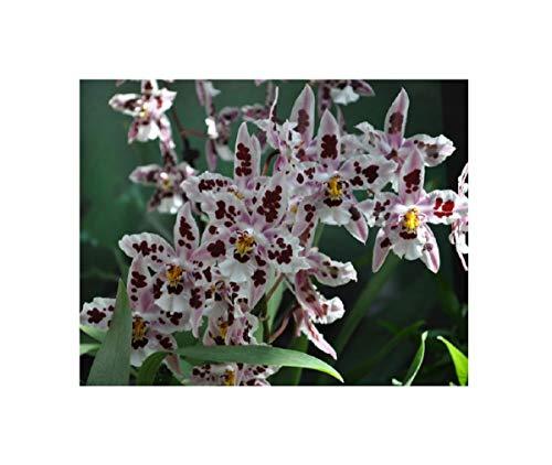 Stk - 2x Odontoglossum Nippon Plantas Jóvenes Meristem Variedad Orquídea OWD147 - Seeds Plants Shop Samenbank Pfullingen Patrik Ipsa