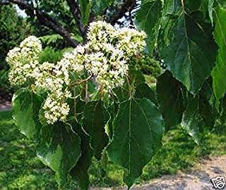 発芽種子:240種:日本のレーズンツリー、ケンポナシ、(ハーディ、香り、食用)