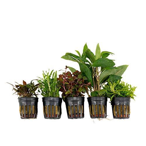 5x Plantes aquatiques - Mix COULEURS CRIARDES |...