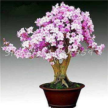 100 PCS Giapponese Azalea Bonsai, Fiore Rododendro Azalea, Indoor Bonsai piantina Fai da Te impianto Casa Giardino Facile da Coltivare: 23