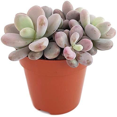 Fangblatt - Pachyphytum oviferum Pink - mexikanische Mondsteinpflanze im Ø 8,5 cm Topf - rosa Sukkulente - pflegeleichte Zimmerpflanze