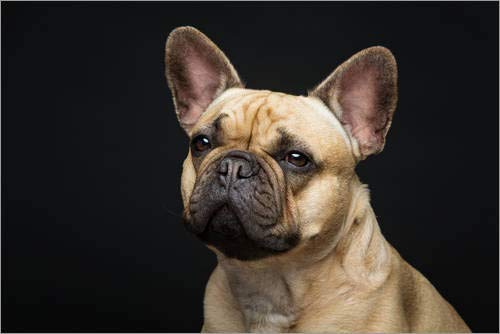 Posterlounge Cuadro de metacrilato 30 x 20 cm: French Bulldog de Editors Choice