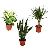 Pack 3 plantas de interior - Dracaena + Diffenbachia + Sansevieria - Plantas de interior populares - Planta para la casa o la oficina - plantas naturales