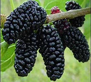 superberry black mulberry tree