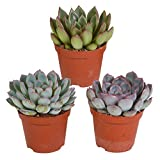 Mix 3 Succulents   Echeveria   Small Easy-Care Plants   Height 11-14cm   Pot Ø 9cm