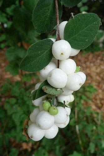 GETSO 200 Stück Physalis Köstlicher Frucht Goldene Berry Lampionpflanze Stachelbeere Bonsai Pflanze Easy Grow Obst