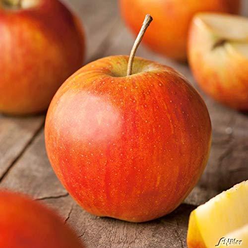 Apfel Rubinette/Rafzubin - Malus - Winterhart - Fruchtreife September bis Oktober - Liefergröße circa 120cm als Containerpflanze