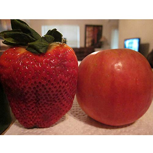 AGROBITS Graines de fraises géantes Super Big Red Strawberry Fruit graines délicieuses graines de bonsaï - 20 pcs/lot