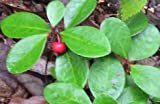 Wintergreen Leaf, Cut&Sifted- Wildcrafted - Gaultheria procumbens (454g = One Pound) Brand: Herbies Herbs