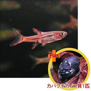 熱帯魚 ボララス ブリジッタエ5匹とカバクチカノコ貝1匹のセット 【北海道・九州・沖縄・離島は発送不可】 生体