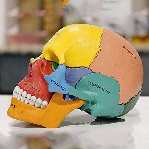 QIAN4 1:1 Steckschädelmodell, Didaktische Version- Schädelmodell Anatomie, 17-TLG Scientific Menschliche Anatomie