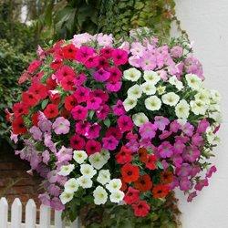 BloomGreen Co. Graines de fleurs: Petunia étoiles Mix Pro Flower Poly Garden [sac de culture jardin Graines Eco Pack] Graines de plantes