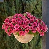 HTHJA Plantas Coloridas Semillas,Semillas de Petunia Que florecen en Todas Las Estaciones, Flores en macetas de Interior y Exterior 500 g de Seda roja Frambuesa,Flores Semillas Planta Bonsai
