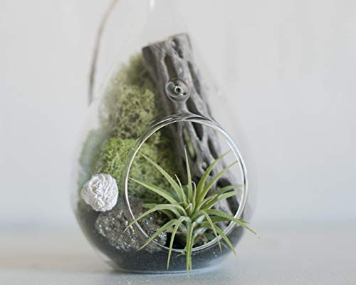 Prismatic Gardens Air Plants Hanging Terrarium Kit – Superb Mini Botanical Decorative Glass Planter with Small Live Tillandsia Air Plant, Small Pyrite Stone Crystals – Best Friend Gifts, Home Décor