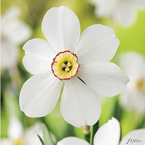 Garten Schlüter Narzissen-Zwiebeln Poeticus Recurvus Blumenzwiebeln Osterglocken - Dichternarzisse - Narzisse mehrjährig - 5 Narzissenzwiebeln Pflanzen in Top Qualität