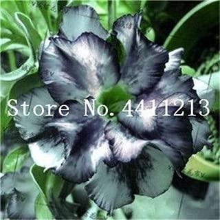 Seed - NOT Plant - Best Quality - Bonsai - Hot Sale ! Genuine Desert Rose Bonsai 1 pcs Adenium Obesum Flower Bonsai Plant Air Purification Home Garden Potted Flower - by SeedWorld - 1 PCs