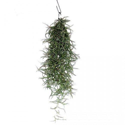 exotenherz - Tillandsien, dekorative Pflanzen - Usneoides