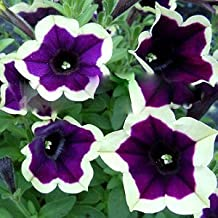 Seeds Package: Germination Seeds PLATFIRM-100Pcs Cascadia Rim Magenta Petunia Dark Purple Blooms with A Edge Seeds for Home Bonsai Seeds for Decoration