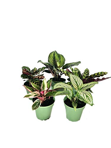 Indoor Houseplant Collection - 5 Live Plants in 4 Inch Pots - Calathea Vittata - Beauty Star - Rattlesnake - Peacock - Triostar Stromanthe - Beautiful Easy to Grow Air Purifying Indoor Plants
