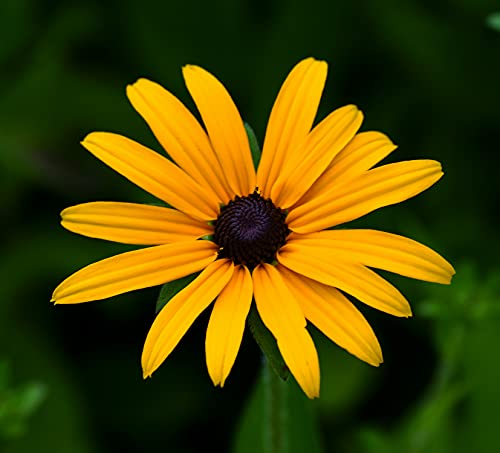Rudbeckie - Sonnenhut - Black-Eyed Susan - Rudbeckia hirta - 1000 Samen