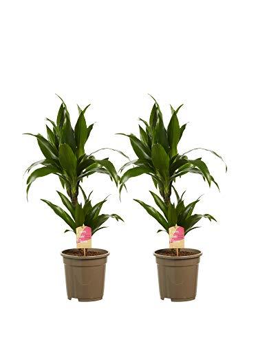 Dracaena Janet Graig | 2 plantes | plante d'intérieur| hauteur 70 cm | Pot 17 cm | Entretien facile
