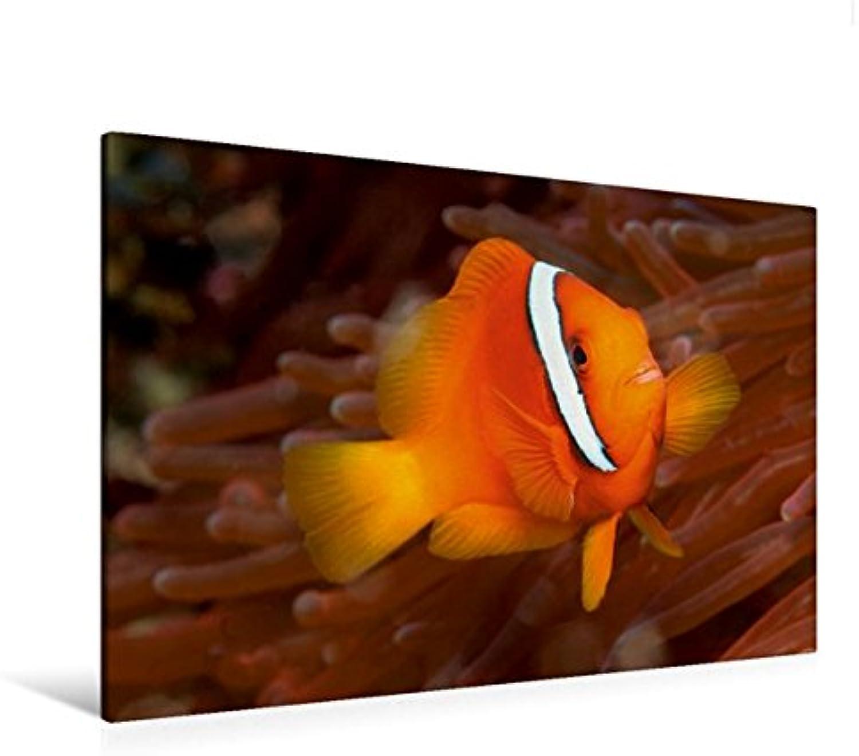 Calvendo Premium Textil-Leinwand 120 cm x 80 cm Quer, Ein Motiv aus Dem Kalender Tropische Unterwasserwelt   Wandbild, Bild auf Keilrahmen, Fertigbild auf Echter Leinwand, Leinwanddruck Tiere Tiere B01L1ULJQG Moderate Kosten | Hochwertig