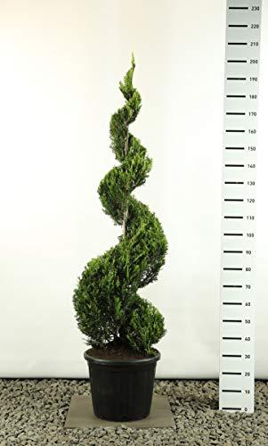 Zypresse Spirale Formschnitt Formgehölz Bonsai PonPon - Cupressocyparis leylandii sp. Castlewellan Gold Spirale extra - Gesamthöhe 160-180 cm - 35 Liter Topf - Spedition