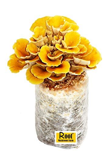 Root Mushroom Farm—Golden Oyster Mushroom - All in one Gourmet Mushroom Growing kit-New...