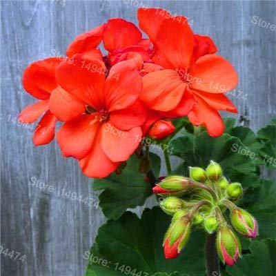 SONIRY 200pcs / Bag Seltene Geranien Garten Mischfarbe Bonsai Blume Pflanze Appleblossom Rosebud Pelargonium Perennial Blumen Flores