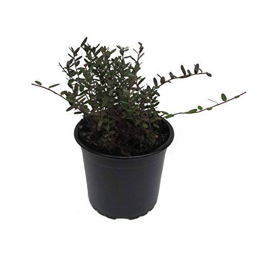 Cranberry Pflanze - Cranberries, Vaccinium macrocarpon