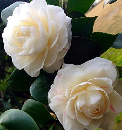 50 PC/bolso, semillas de camelia, Camellia japonica, plantas en macetas, estaciones de siembra, plantas con flores