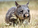 Realm of the Wombat