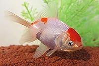 ☆国産金魚☆ 丹頂 1匹 全長約5,5~8cm (生体0820-10)