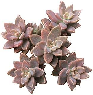 Graptosedum California Sunset Echeveria-Like Rosette Orange Pink Color Graptosedum 'Bronze' Graptosedum 'Alpenglow' Vera Higgins - 2'' Plants