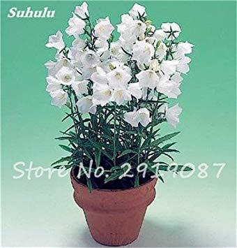 50 Pcs Campanula Graines rares Fleur Plante en pot Couleurs mélangées 95% Taux de bourgeonnement vivaces Plantes Bonsai Maison et Jardin 23