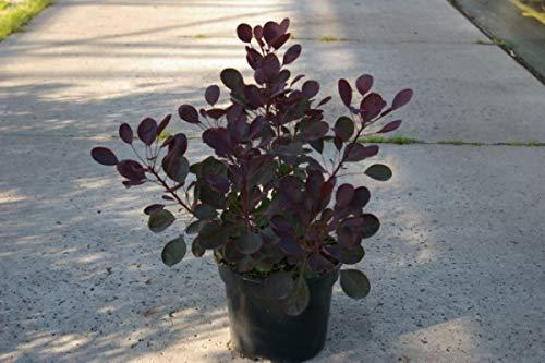 Perückenstrauch Lilla (R) - Cotinus oggygria Lilla (R) - Roter Zwergperückenstrauch (40-60)