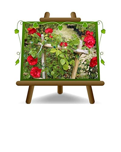 Rose d'escalade couleur rouge vermillon intense - Petite fleur sur pot de 30 - max 100 cm - 5 ans