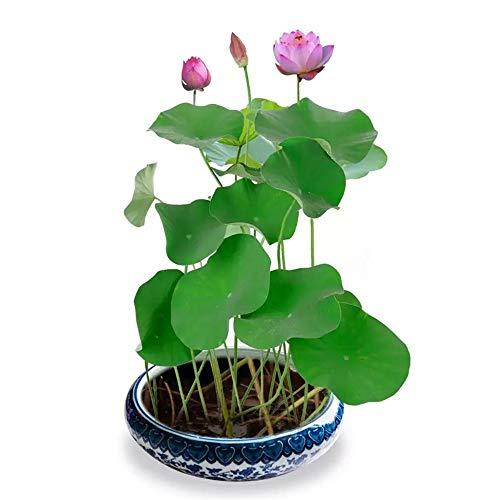 Macetas Bonsai Semillas de loto Plantas de lirio de agua para estanques Pequeñas y coloridas fuentes de agua mezcladas Semillas Qquatic Plants Kit Home Garden Yard Decor Purify