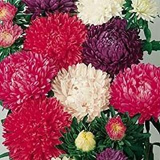 30+ Aster Milady Mix Flower Seeds / Compact 12 Inches Tall Self-seeding Annual