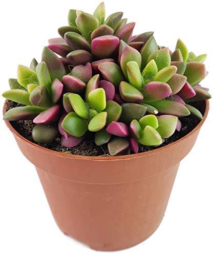 """Fangblatt - Anacampseros\""""Sunrise\"""" - bunte Sukkulente in regenbogenfarben - pflegeleichte Zimmerpflanze - seltenes Dickblatt"""