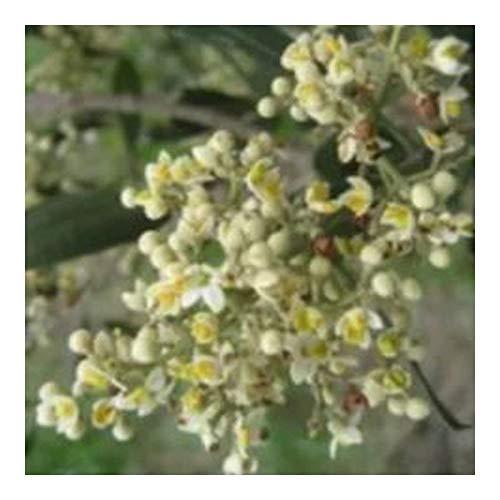 Olea exasperata - Olivier de la côte - 10 graines