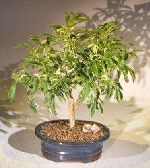 Bonsai Boy's Golden Hawaiian Umbrella Bonsai Tree - Medium arboricola schefflera 'luseanne'