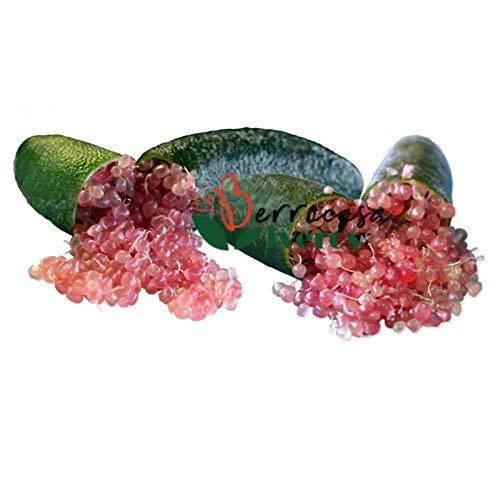 Plantas frutales de Botanicly – 2 × Caviar Cítrico –