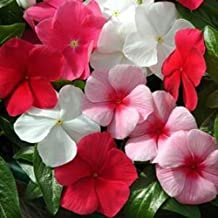 Outsidepride Mediterranean Lipstick XP Vinca Ground Cover Seed Mix - 50 Seeds