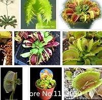 プロモーションDionaea種子muscipulaジャイアントクリップビーナスフライトラップ種子300ピース食虫植物種子ガーデンフラワーシードボン