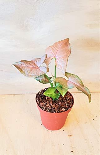 Pink Syngonium Podophyllum Arrowhead Plant (Neon Robusta) Live House Plant- 4'...