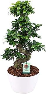 Bonsáis de Botanicly – Ficus Gin Seng en maceta blanca como un conjunto – Altura: 70 cm