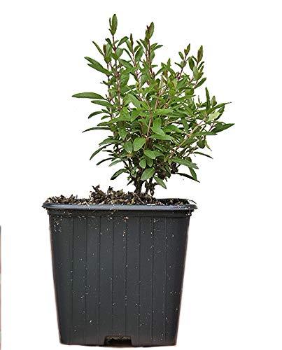 Seedeo® Zwerg-Granatapfel (Punica granatum Nana) Jungpflanze ca. 10 cm höhe