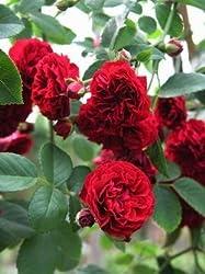 kletterrosen darauf gilt es zu achten rosenbogen kaufen. Black Bedroom Furniture Sets. Home Design Ideas